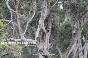 CCCCCwhite-bellied sea eagle2nest