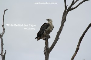 CCCCwhitebellied sea eagle- upclose