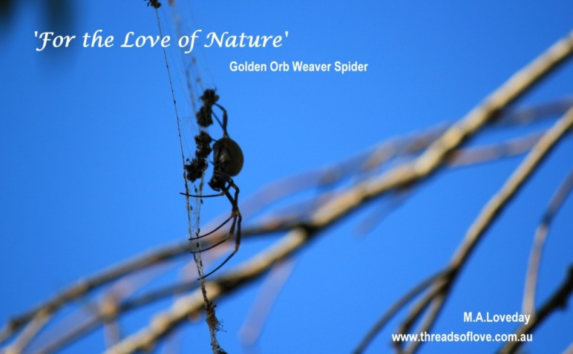 The Golden Orb Weaver Spider (Nephila.sp)