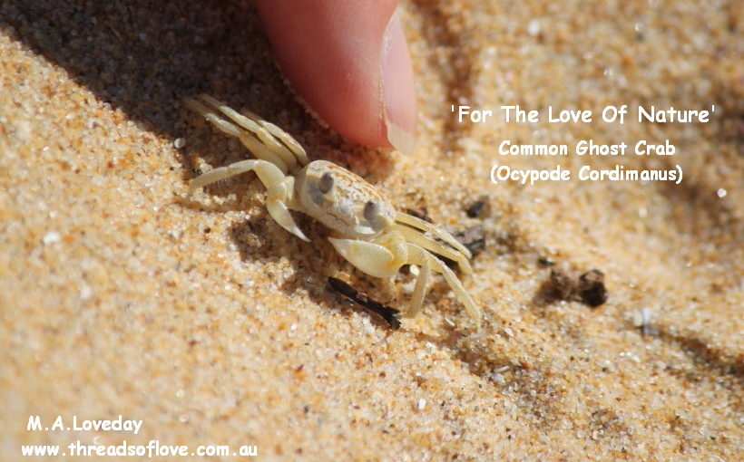 Common Ghost Crab (Ocypode Cordimanus)